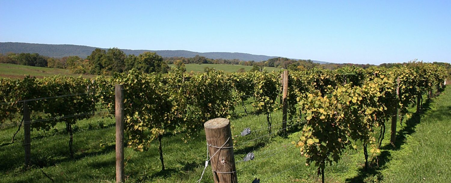 Vineyard Rows in Virginia