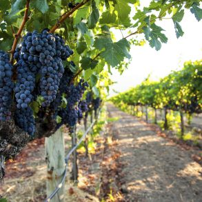 vineyards in Northern VA