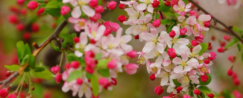 Shenandoah Apple Blossom Festival,