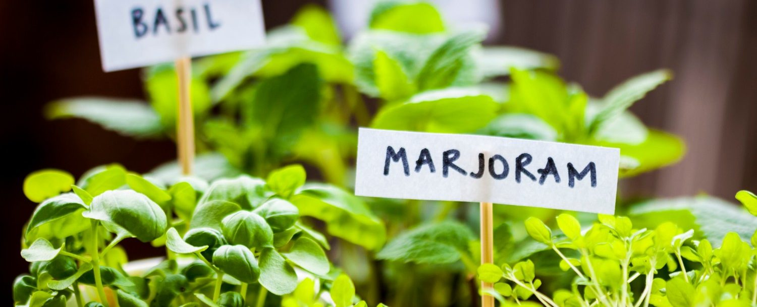 "Virginia Herb Festival | Herbs in small pots labeled ""Basil"" and ""Marjoram"""